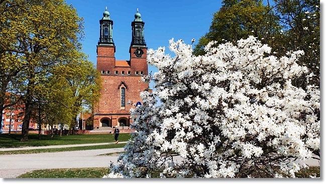 Magnoliaträd vid  Klsoters kyrka, Eskilstuna. Foto: Rolf Bogren